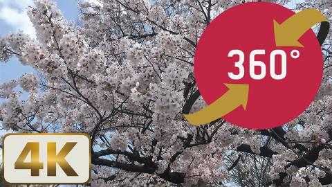 360度VR動画【花見 上野公園】シンボシ